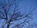 冬の桜(‥たぶん)