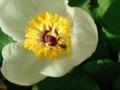 山芍薬とハチ