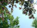 欅と八重桜