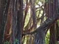 ハワイ島のジャングル