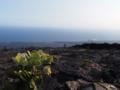 溶岩台地と新芽