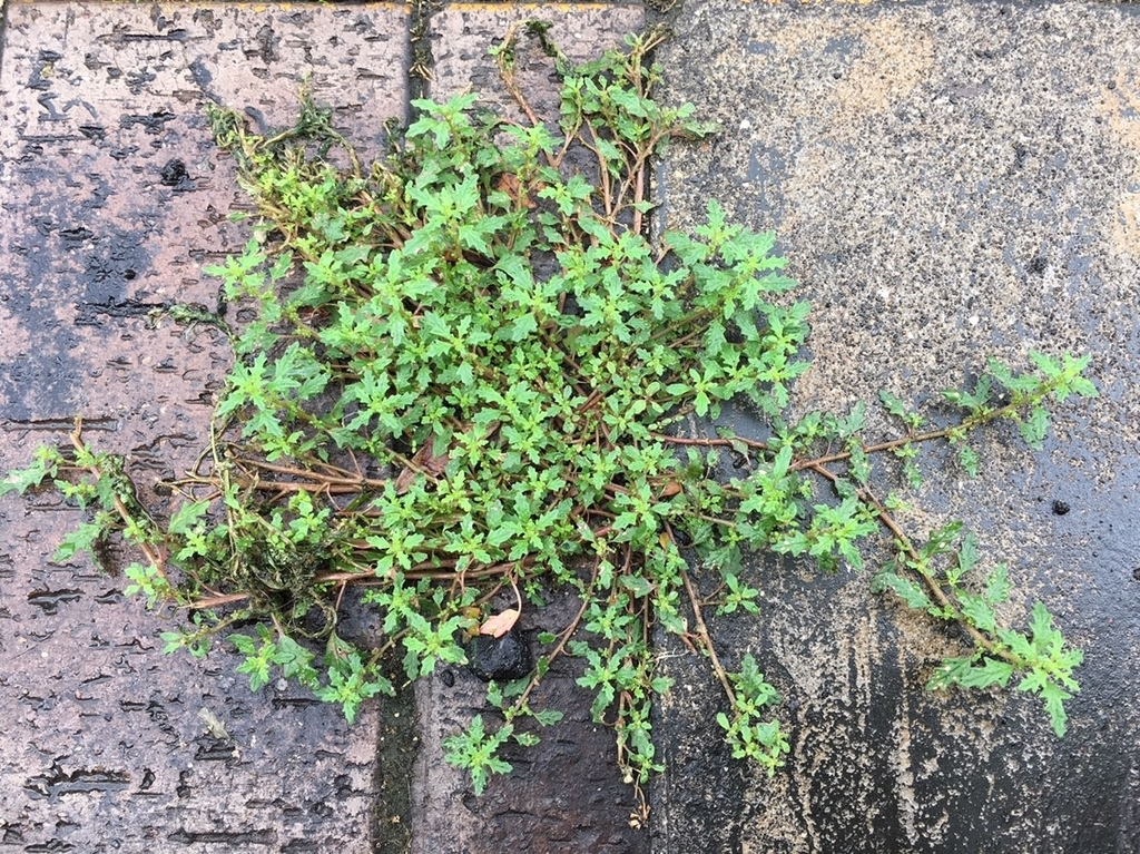 f:id:encyclopediaofweeds:20181215022015j:plain