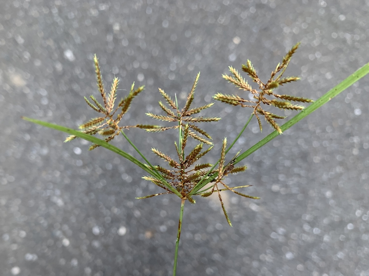f:id:encyclopediaofweeds:20201102235717j:plain