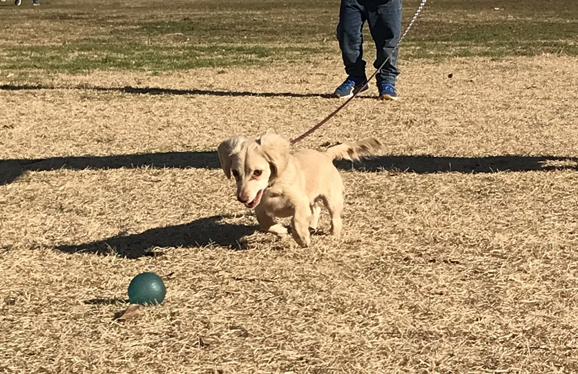 本気でボールを追いかけるチワックスの子犬