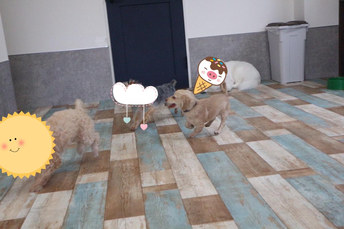 楽しそうに遊ぶ子犬のチワックス