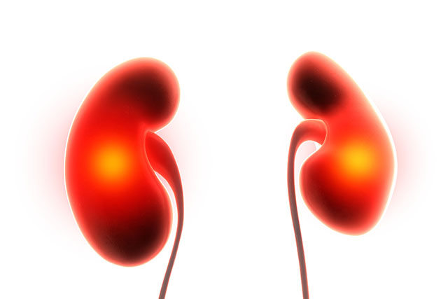 100年にわたる謎が解けた、腎臓を一つ取るとなぜもう一つが大きくなるか