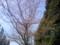 信号待ちの間に靖国神社の桜をパチリ