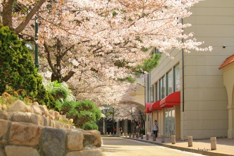 [桜][花のみち]