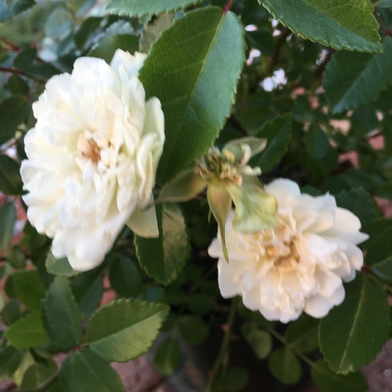 f:id:evergreen_flower:20180520143056j:plain