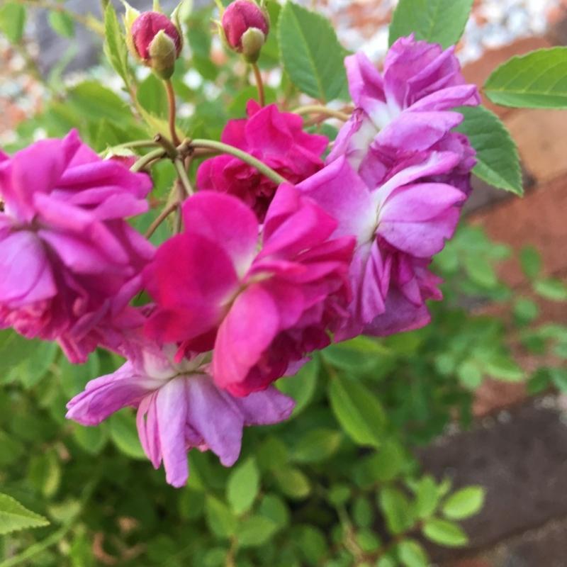 f:id:evergreen_flower:20180520143121j:plain