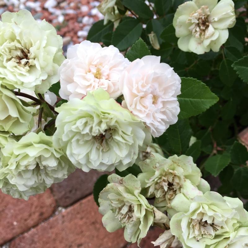 f:id:evergreen_flower:20180528193503j:plain