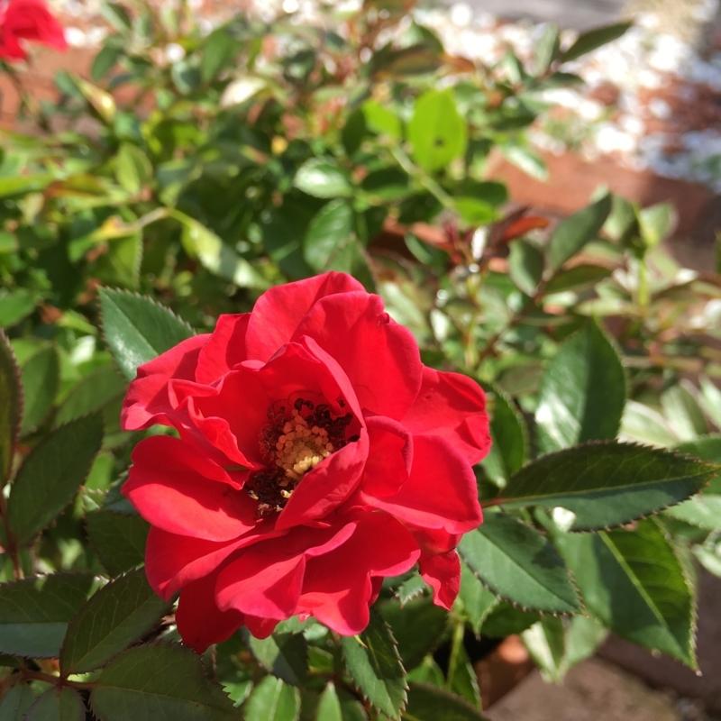 赤いミニバラ
