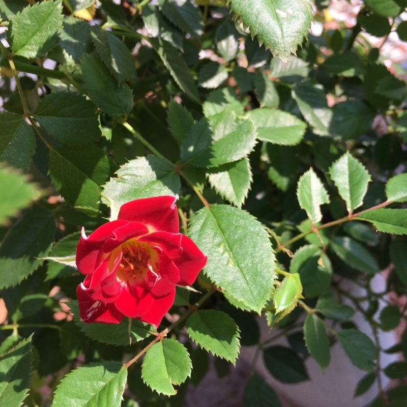 リトルアーチスト つるバラ