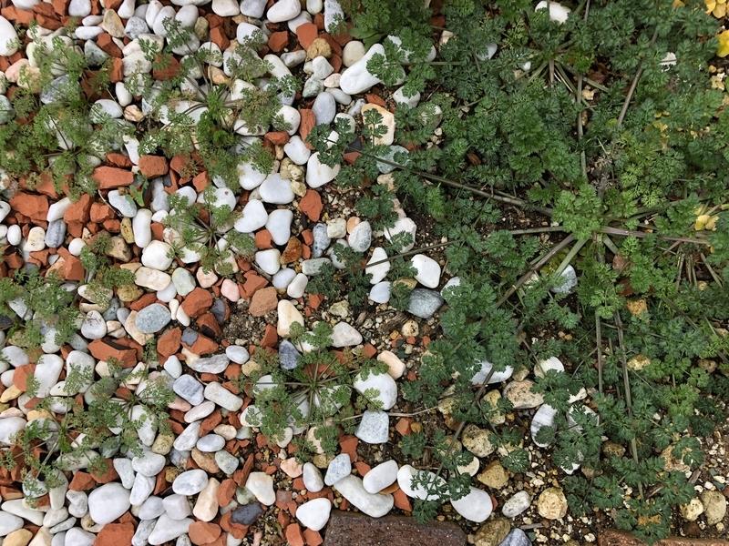 オルレアの芽