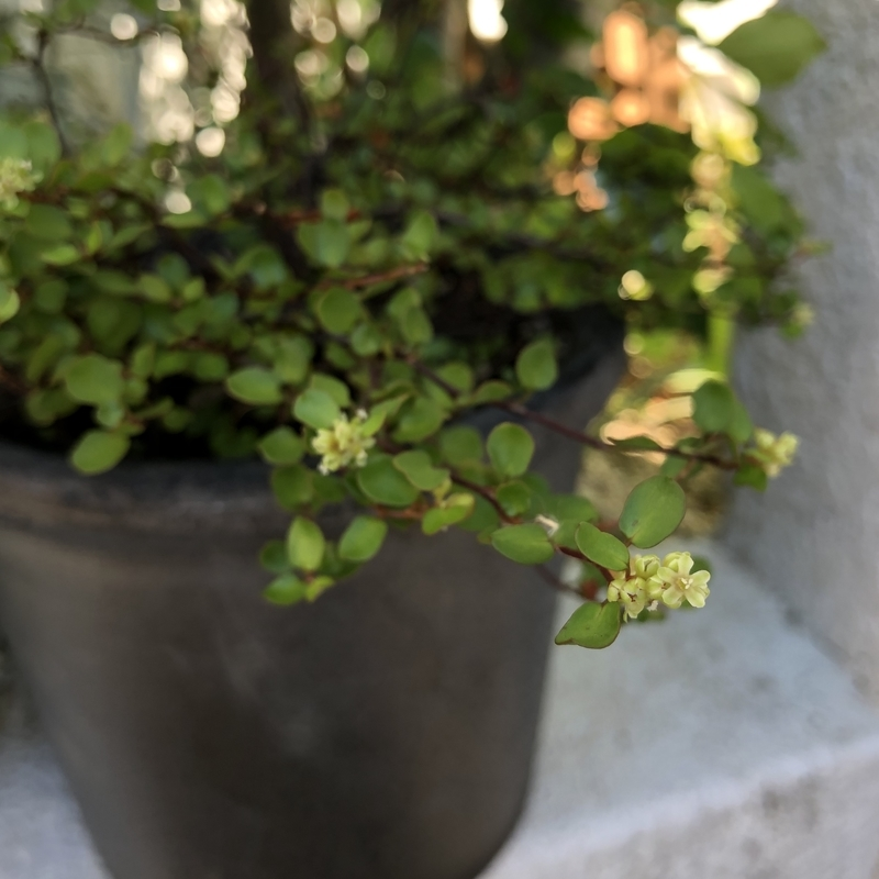 ワイヤープランツ 花