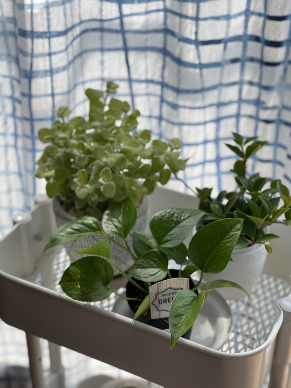 IKEA ロースフルト 観葉植物