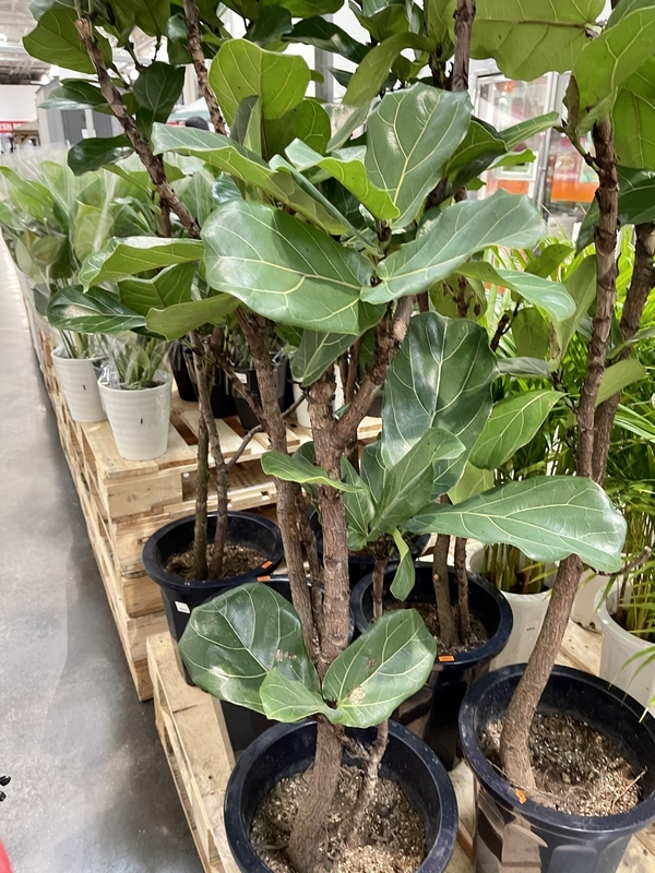 コストコ 観葉植物