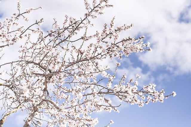 お花見の季節になりました!