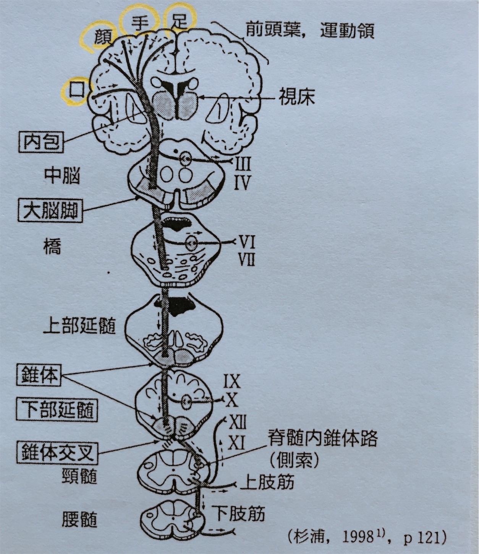 路 外側 脊髄 視床