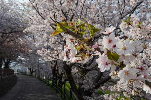 福岡で満開の桜、と自然の美しさを台無しにする色,光,景観...