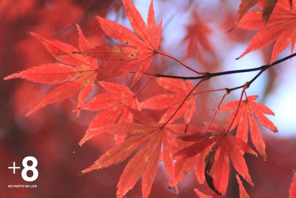 赤い紅葉の写真