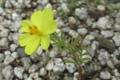 庭に咲くレモンイエローのコスモス 11月14日撮影