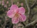 早咲きの桜に見えたが梅の花のよう