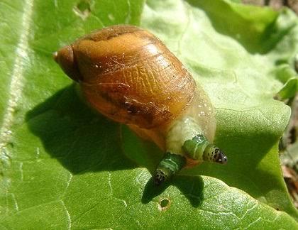 カタツムリ の 寄生 虫