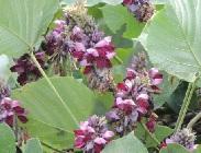 葛の花、緑の葉っぱに紫色の花
