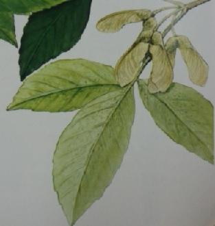 メグスリノキは複葉をもちます。
