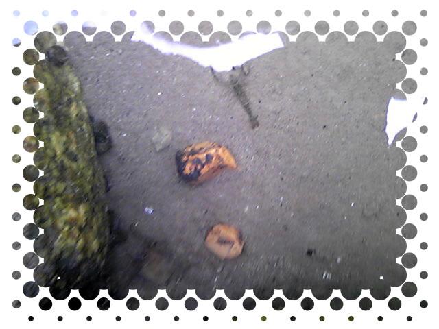 木曽川でテナガエビの姿を確認