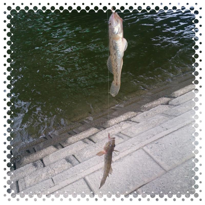 木曽川のハゼ釣りダブル