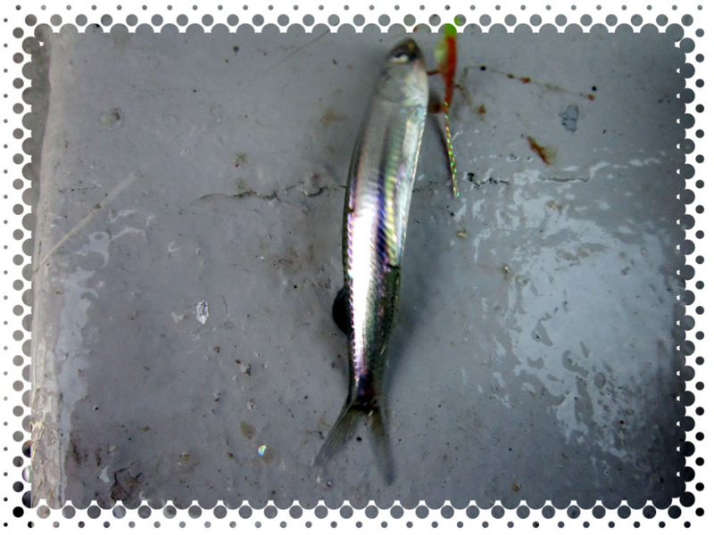 f:id:familyfishing:20170130204721j:plain