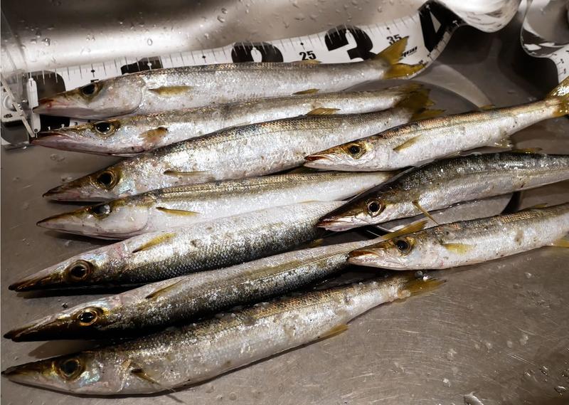 カマス釣りの釣果情報