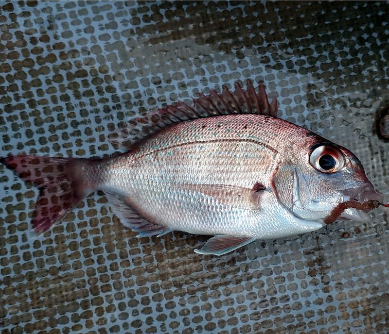 マダイの幼魚、その名もチャリコ