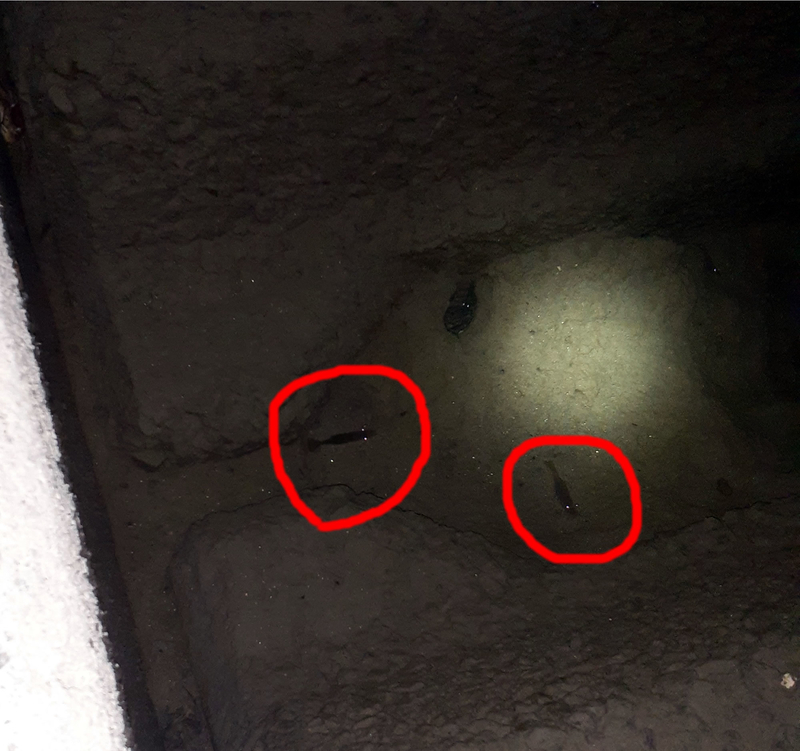 小型のテナガエビをライトで照射する