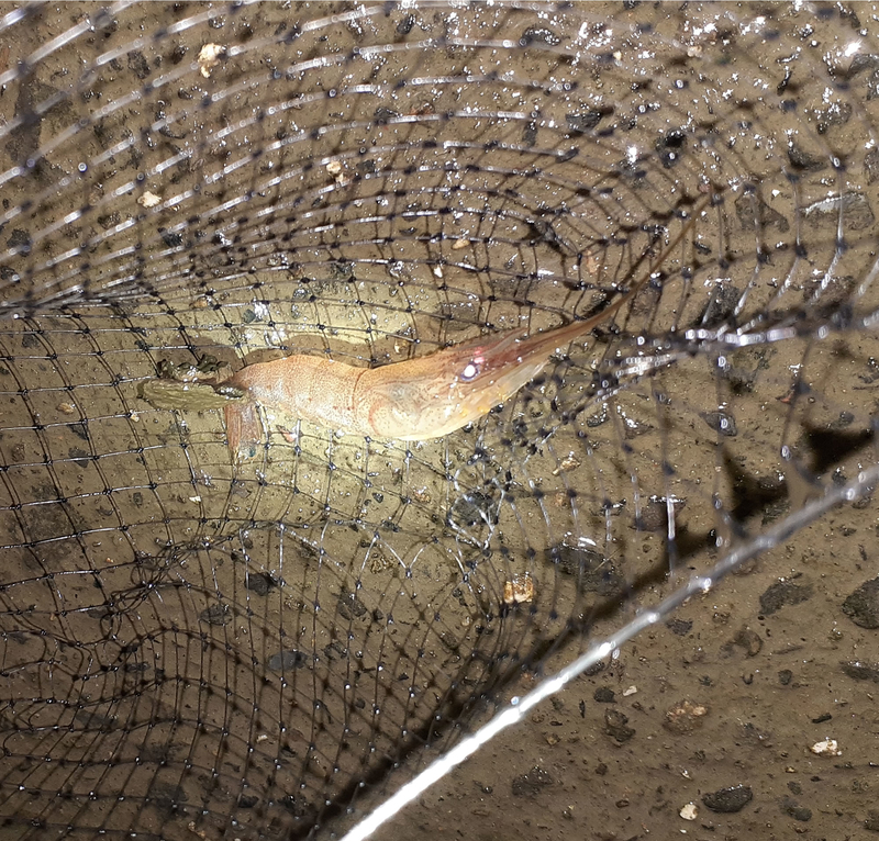 木曽川でテナガエビをタモで捕る