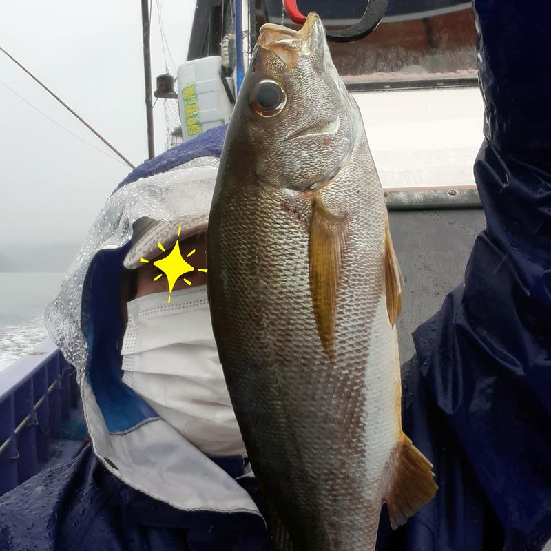 三重県へ雨の中のイサキ釣り