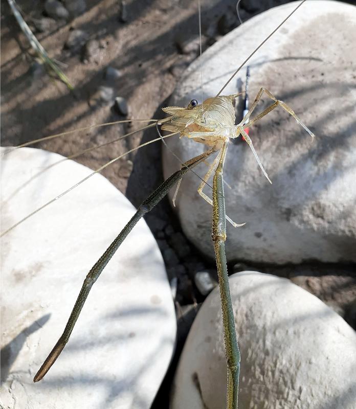 手を含めて20cm超えの大物のテナガエビ