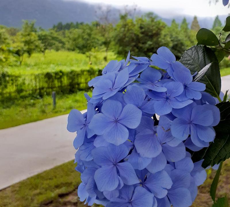 メタセコイヤ並木に咲き誇るアジサイ