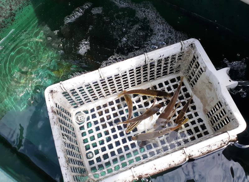 漁港のすぐそばでサビキ釣りでアジ