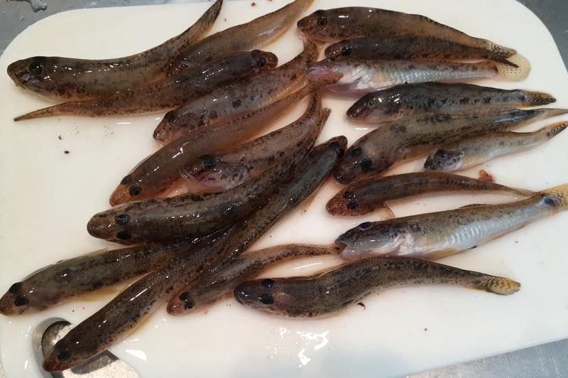 ハゼ釣りの釣果