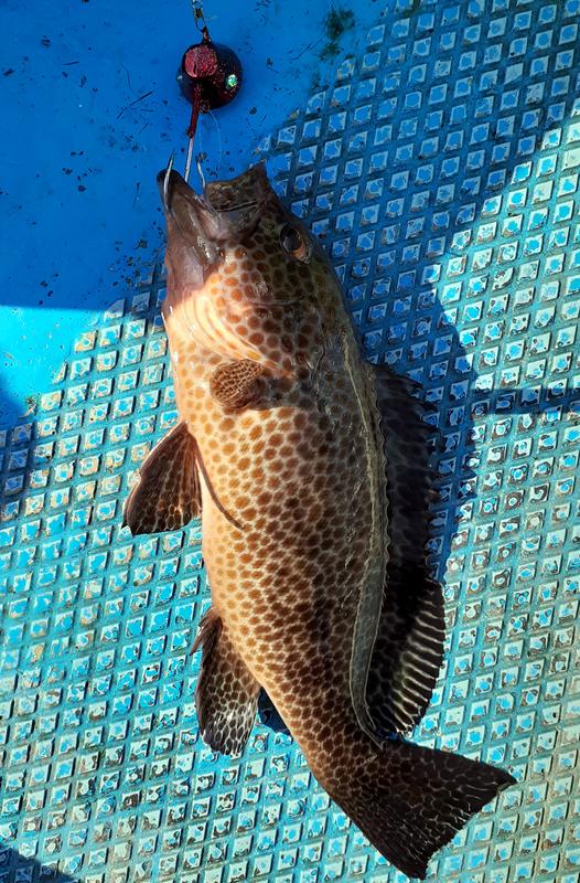 オオモンハタを一つテンヤで釣る