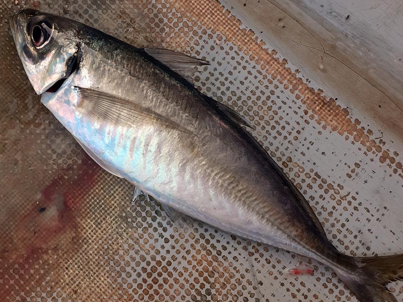 サビキ釣りでアジ