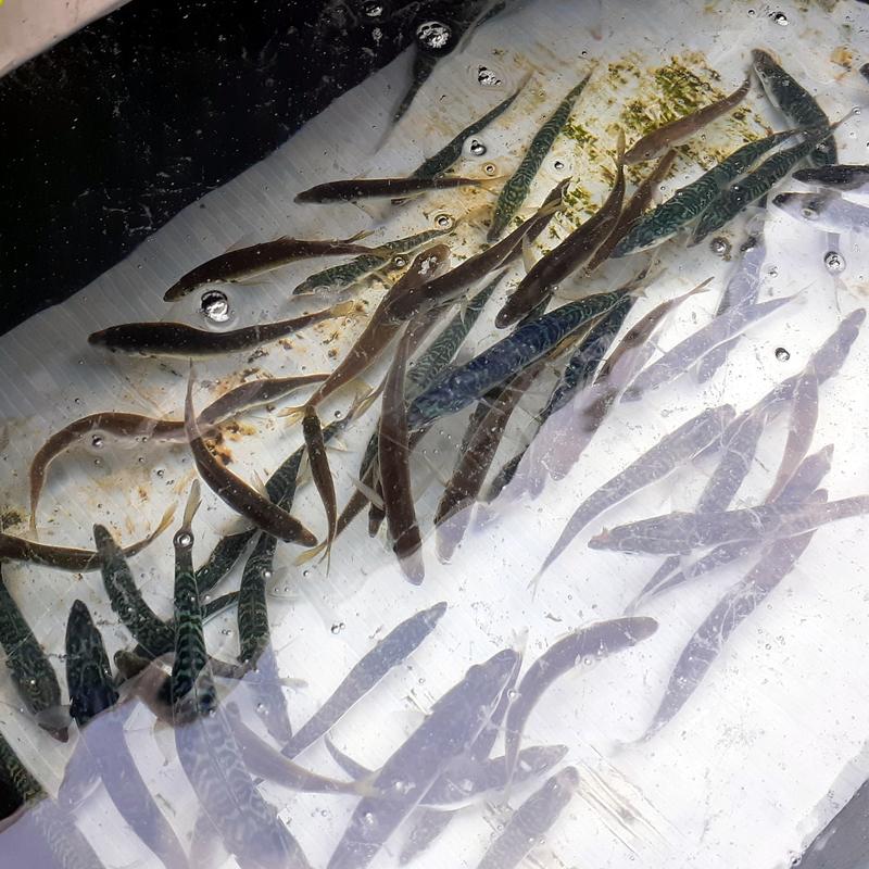 サビキ釣りでアジとサバを釣る