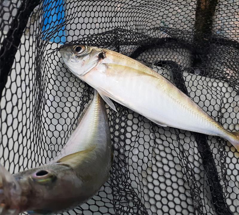サビキ釣りで良型アジのダブル