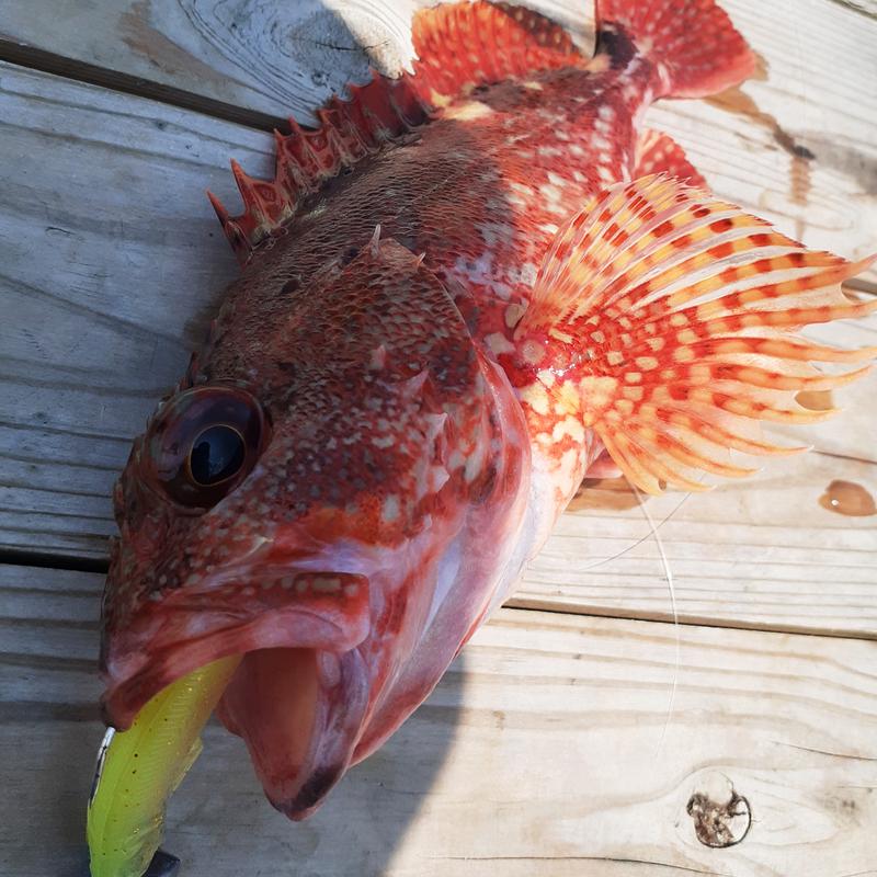 スイミングテンヤでカサゴを釣る