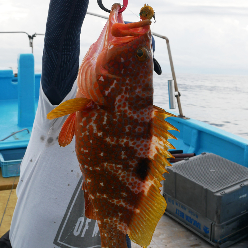 太平洋側でアコウ釣り