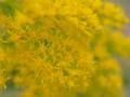 [花][ライトトーン]背高泡立草