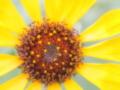 [花][ファンタジックF]向日葵?